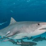 Segundo um estudo tubarões estão 'funcionalmente extintos' em mais de 20% dos recifes dos oceanos