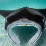 A Marine Megafauna Foundation encontra uma população urbana de arraias mantas juvenis na Flórida